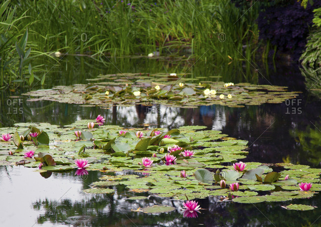 Pond of pink and yellow water lilies