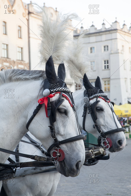 Horses attached to a carriage in the town square of Krakow, Poland