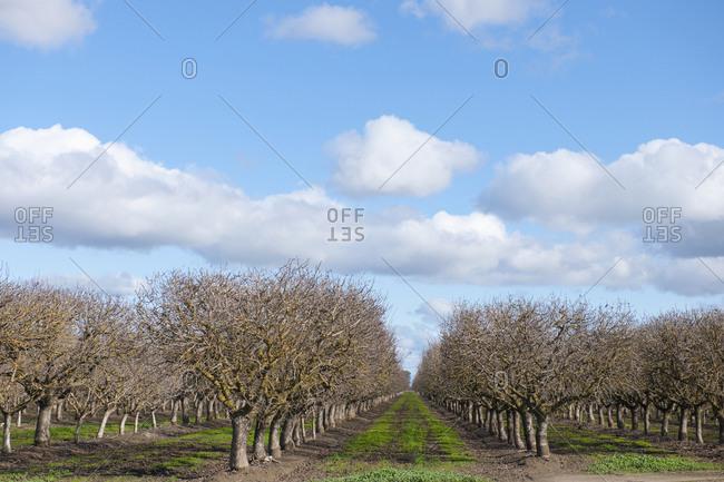 Trees in orchard,Sacramento, California, USA