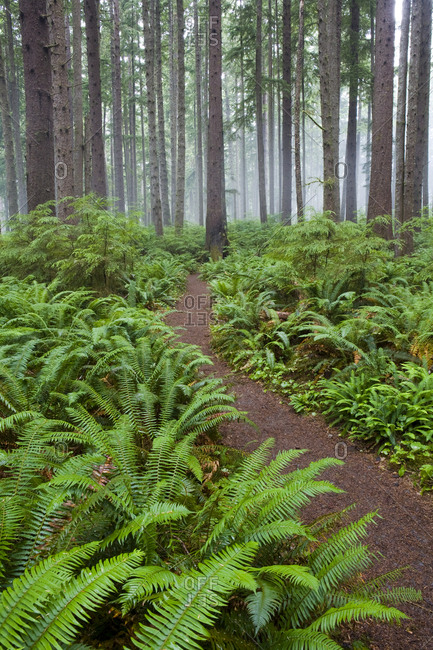 Trail Through Forest, Olympic National Park, Washington,Olympic National Park, Washington, USA