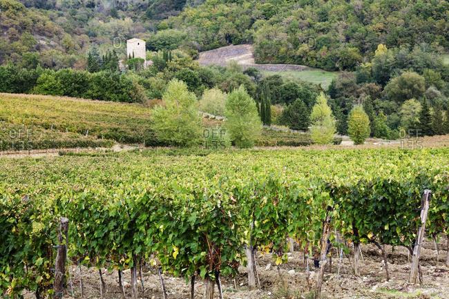 Vineyard,Tuscany, Italy