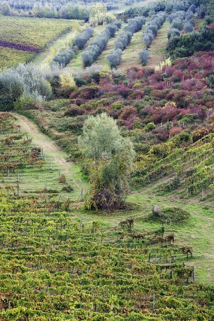 Vineyard and Olive Grove,Tuscany, Italy