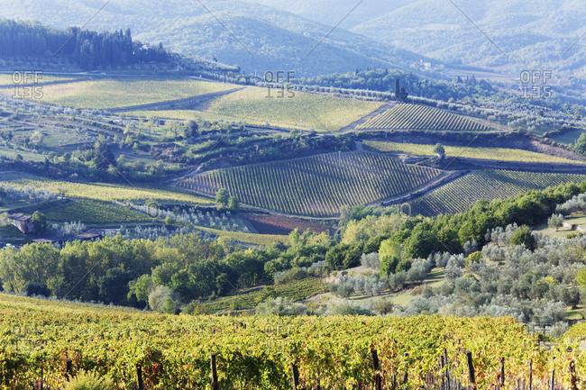 Vineyards and Olive Groves,Panzano, Tuscany, Italy