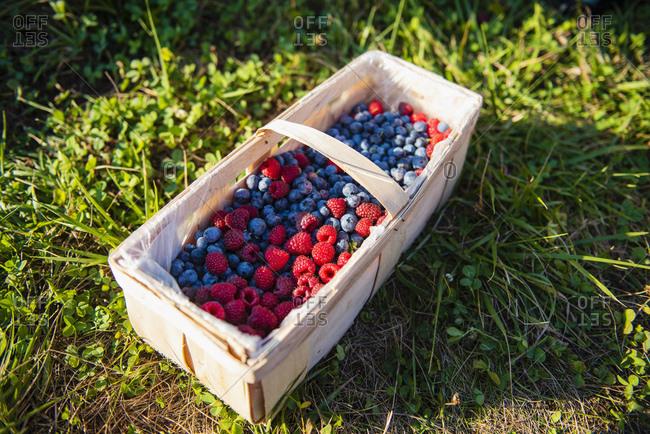 Splint basket of freshly picked berries