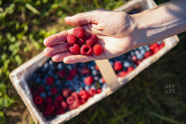 Picked raspberries on woman's hand