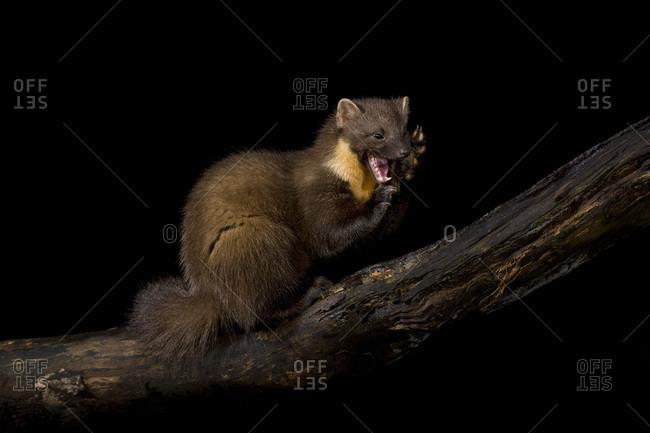 Pine marten on branch against black background