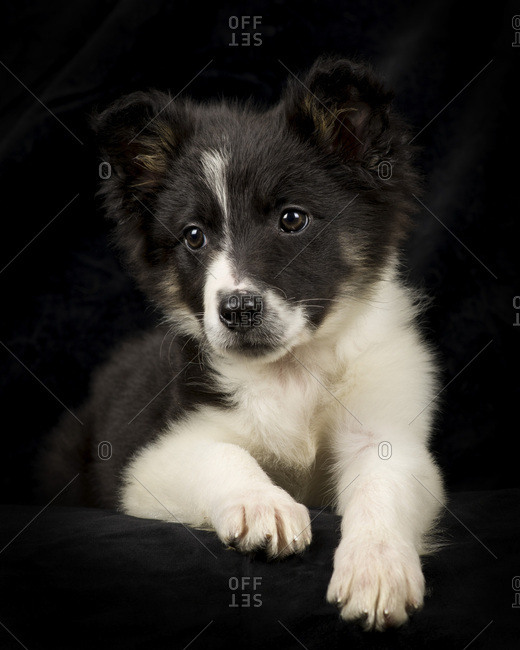 Portrait of Border Collie puppy in front of black background