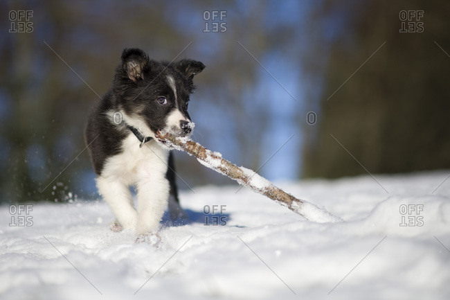 Border Collie puppy playing with wood stick in snow