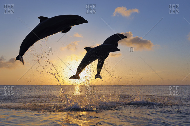 Bottlenose dolphins- Tursiops truncatus- jumping in caribbean sea at sunset