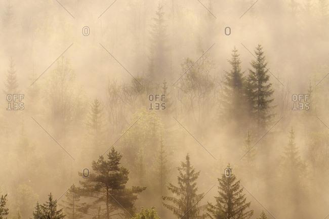 German- Bavaria- Munich- Isar Valley- Morning mist in forest