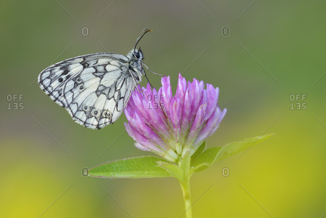 Marbled White- Melanargia galathea sitting on red clover- Trifolium pratense