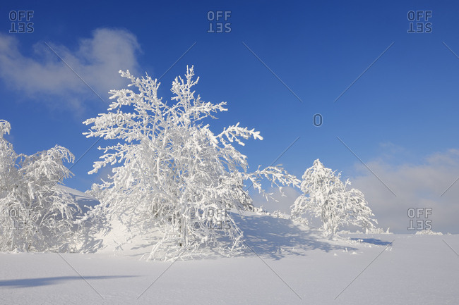 Germany- Saxony- Ore Mountains- snow covered trees in winter landscape