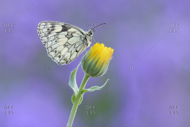 Marbled White- Melanargia galathea sitting on yellow flower