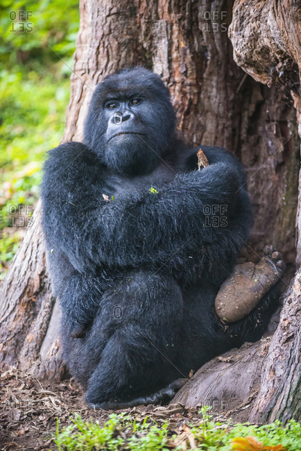 Rwanda- Virunga National Park- portrait of mountain gorilla leaning against tree trunk