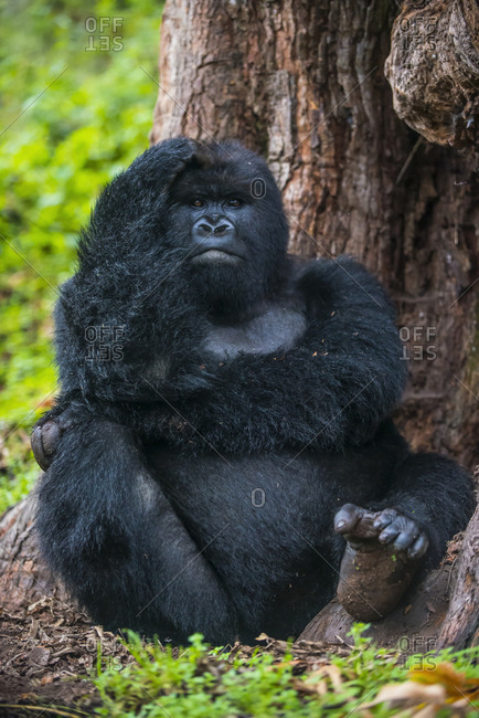 Rwanda- Virunga National Park- portrait of mountain gorilla sitting in front of tree trunk