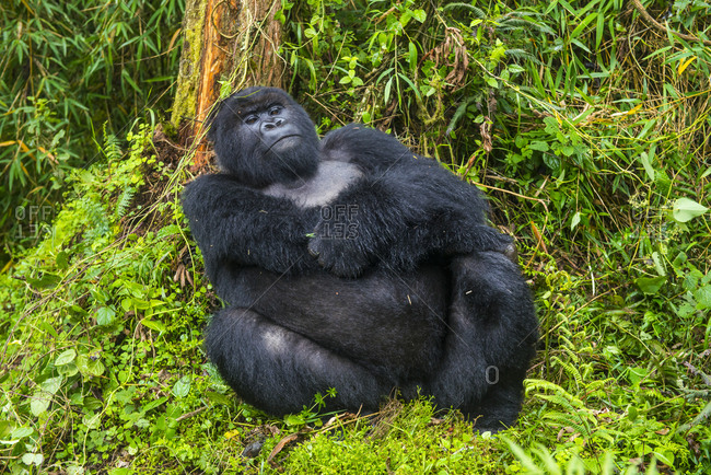 Rwanda- Virunga National Park- portrait of relaxing mountain gorilla