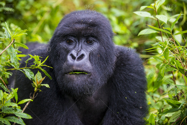 Rwanda- Virunga National Park- portrait of mountain gorilla eating leaves