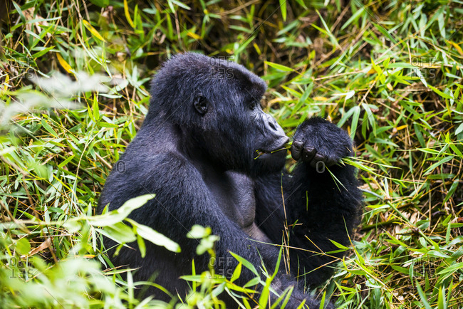Rwanda- Virunga National Park- mountain gorilla eating plants
