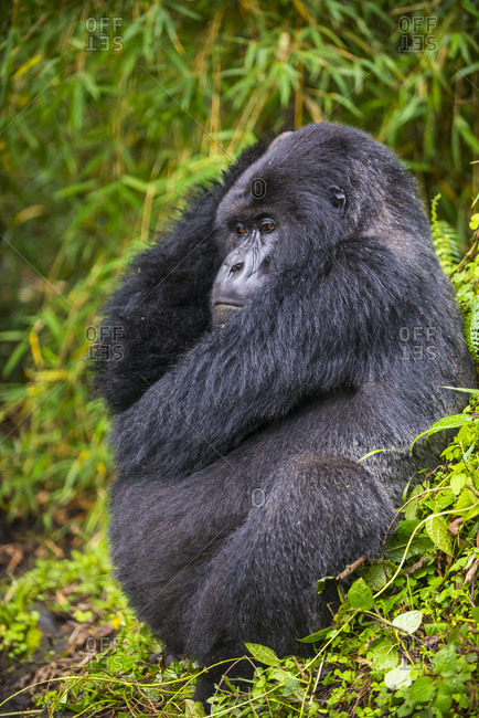 Rwanda- Virunga National Park- mountain gorilla