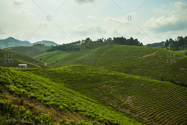 Africa- Tea plantation in the mountains of southern Uganda