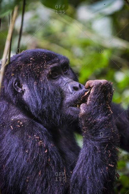 Africa- Uganda- Mountain gorilla- Gorilla beringei beringei- in the Bwindi Impenetrable National Park