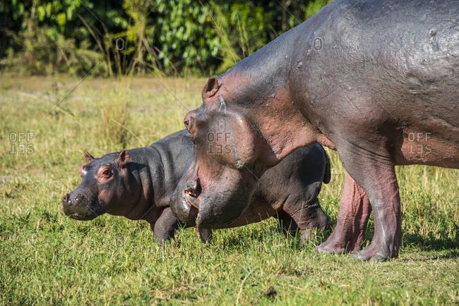 Africa- Uganda- Hippopotamus- Hippopotamus amphibius- mother with baby- Murchison Falls National Park