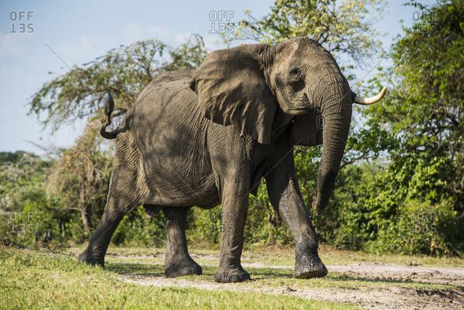 Africa- Uganda- African elephant- Loxodonta africana- Murchison Falls National Park