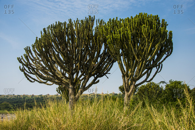 Africa- Uganda- Cactus tree at a crater lake in the Queen Elizabeth National Park