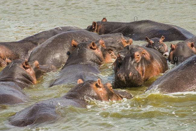 Africa- Uganda- Hippopotamus- Hippopotamus amphibius- group bathing in the water- Queen Elizabeth National Park