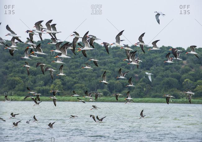 Africa- Uganda- Huge flocks of birds- Queen Elizabeth National Park