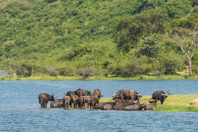 Africa- Uganda- Cape buffaloes- Syncerus caffer- Queen Elizabeth National Park
