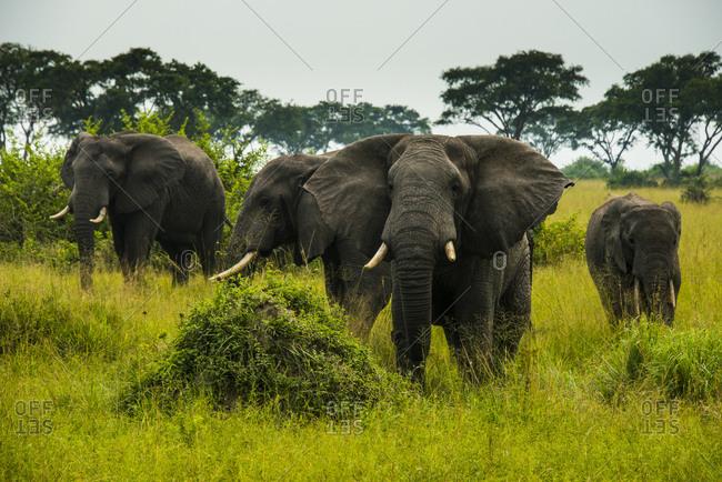 Africa- Uganda- African elephants- Loxodonta africana- Queen Elisabeth National Park
