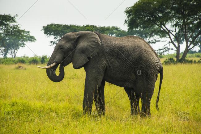 Africa- Uganda- African elephant- Loxodonta africana- Queen Elisabeth National Park