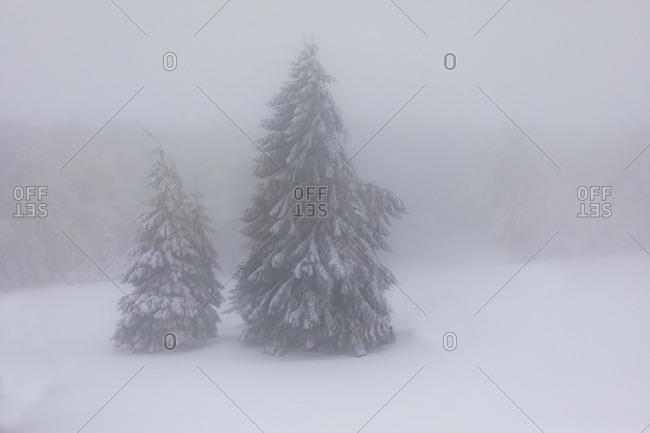 France- Alsace- Nature reserve Frankenthal-Missheimle- snow-covered firs at fog