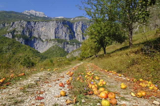 Montenegro- near Kolasin- Mrtvica Canyon- windfall- apples on way