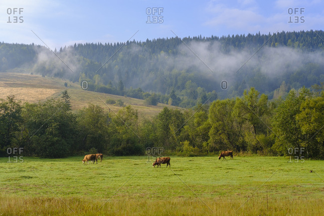 Montenegro- Rozaje- cows on meadow