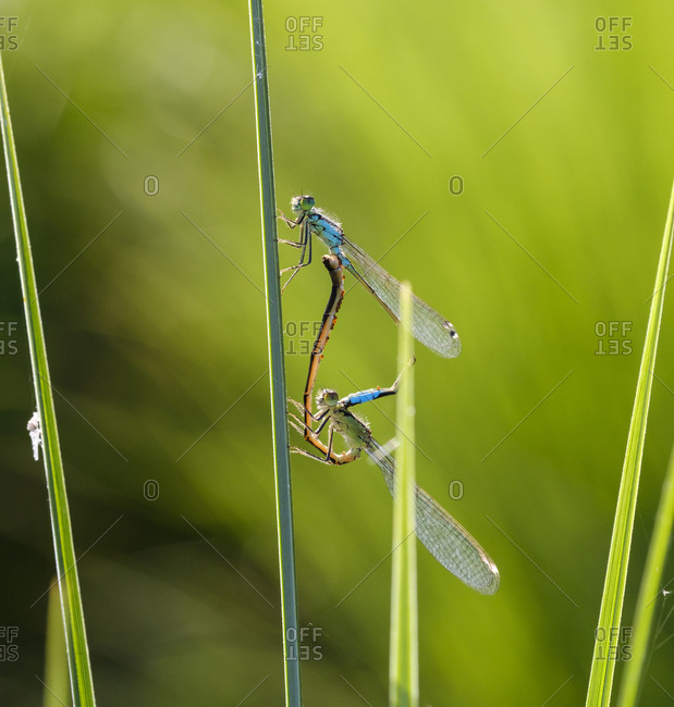 Two mating blue-tailed damselflies in front of green background