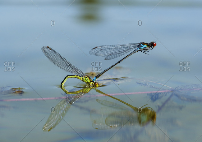 Two red-eyed damselflies in oviposition at water surface