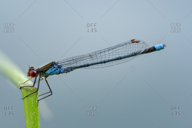 Male red-eyed damselfly in front of blue background