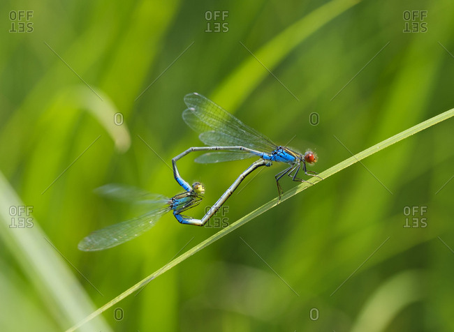 Two mating small red-eyed damselflies in front of green background