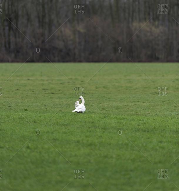 A single swan in a grassy field