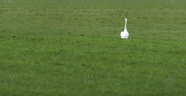 A swan in a grassy field