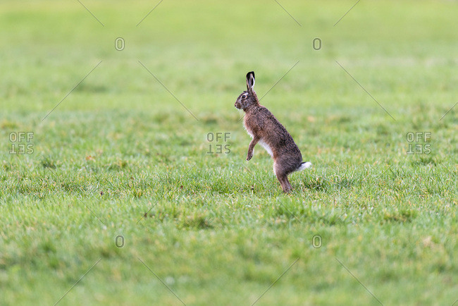 A single rabbit standing on his hind legs in a field