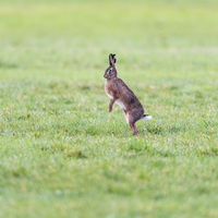 A Single Rabbit Standing On His Hind Legs In A Field Stock Photo