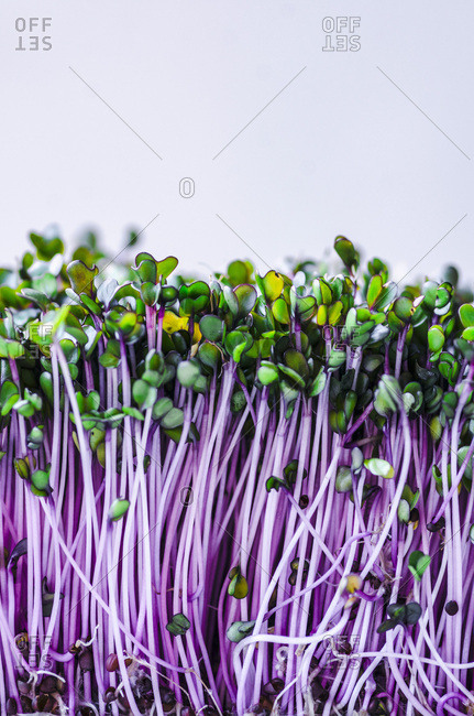 Purple Microgreens on White Background