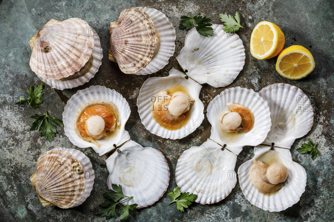 Raw uncooked Scallops in cockleshell and lemon and leaf vegetable on gray background