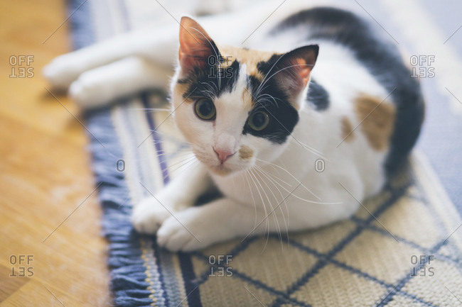 Portrait curious cat laying on rug