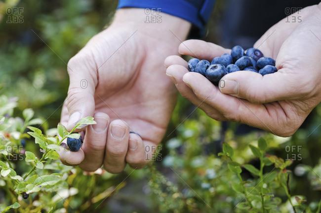 Hands picking fresh, ripe blueberries