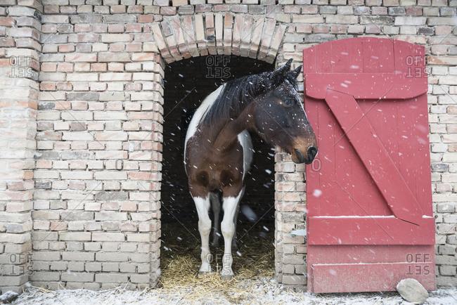Snow falling over horse standing in barn doorway