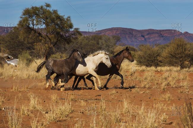 Wild horses running in sunny desert, Haasts Bluff, Northern Territory, Australia